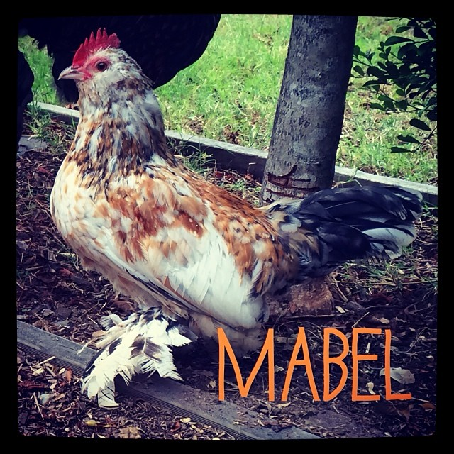 Mabel is tiny with feathered feet...... my favorite xx