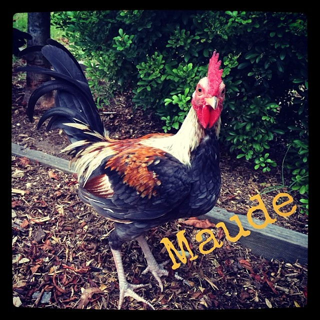 Meet Maude the cheekiest of all the chickens xx