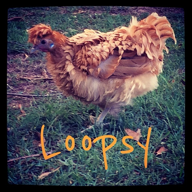 One of our new hens .......meet Loopsy (named by our niece Evie)