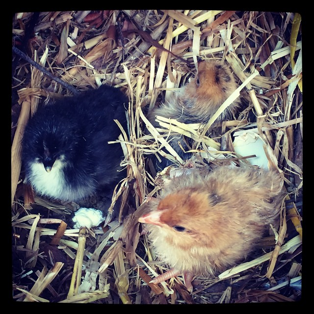 The Lattimore Acre Family has grown by three today! Home grown chick!