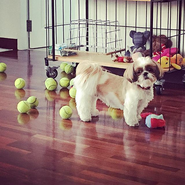 This puppy!!! She sits next to her basket of tennis balls and cries until you tip them out for her. Then she spreads them all over the apartment