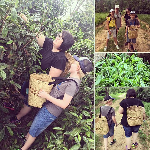 Tea picking - not as easy or as fast as we thought but we loved it ️